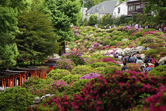 Bunkyo Azalea Festival At The Nezu Shrine